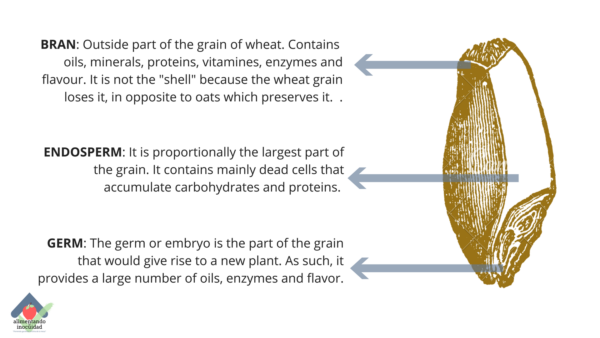 Wheat grain's parts.